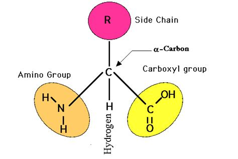 acid diagram let us start by discussing an amino acid