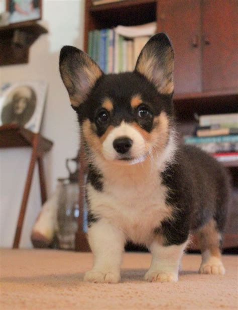miniature corgi puppies mini pembroke welch corgi puppy corgi quot s