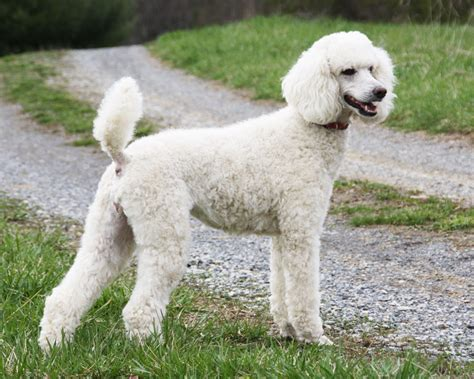 are poodles dogs 10 facts that make poodles interesting 3milliondogs