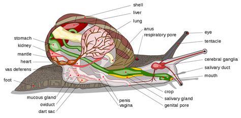 libro one is a snail file snail diagram en edit1 svg wikipedia