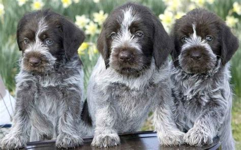 wirehaired pointing griffon puppies for sale 2016 pointing griffon breeds picture