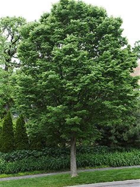 shade tolerant fruit trees 1000 images about trees on drought tolerant