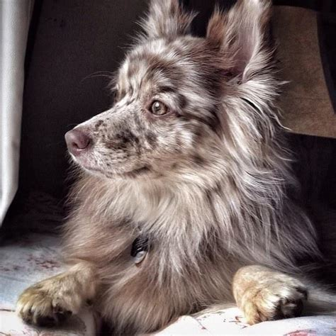 pomeranian australian shepherd 25 best ideas about pomeranian mix on husky pomeranian mix pomsky and