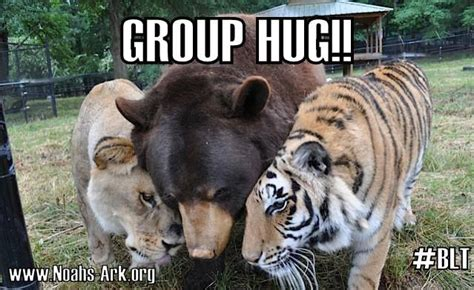 Group Hug Meme - blt bear lion tiger group hug unlikely animal