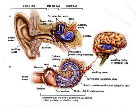 diagram of the ear diagram of the ear