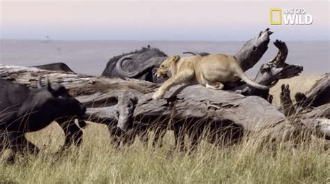 african cats big cat week gif by nat geo wild find