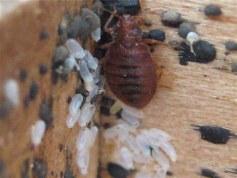 what color are bed bug eggs bed bugs pictures high resolution bed bug images