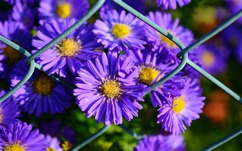 aster flowers wallpapers my note book purple petals aster flowers wallpapers flowers hd
