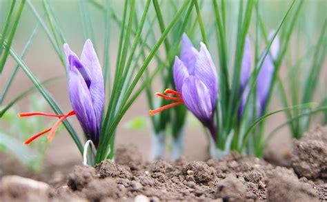 coltivare zafferano in vaso come coltivare zafferano aromatiche consigli per la