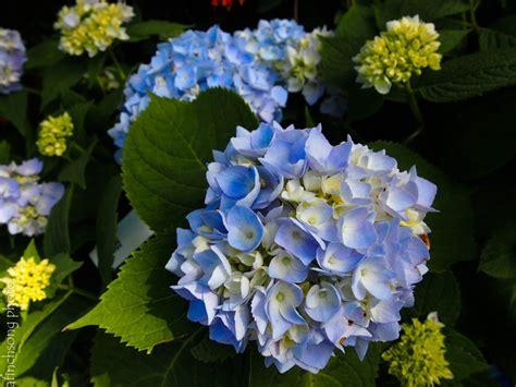 summer flowering shrubs sun pin by snavely s gardencorner on flowering shrubs