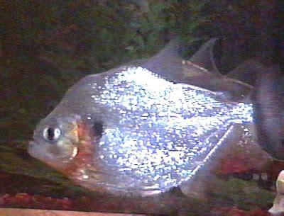 alimentazione piranha serrasalmus eigenmanni passione acquari