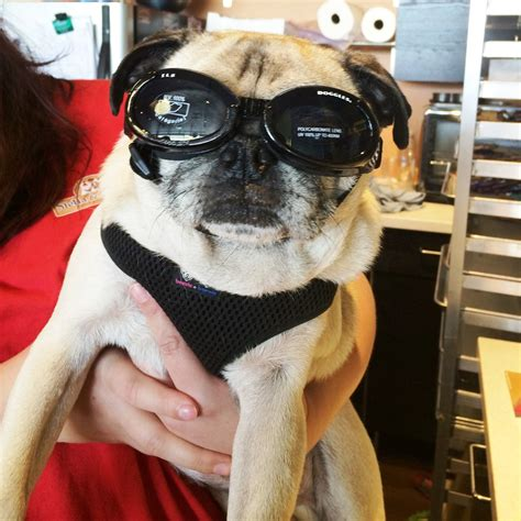 doggles for pugs insta friday 96 this pug