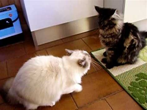 ragdoll vs ragdoll karate ragdoll vs maine coon