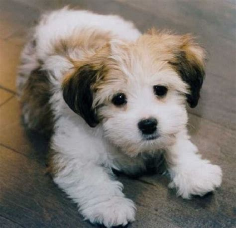 small dog mixed breeds that don't shed   puppies