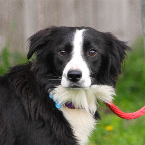 border collie rescue puppies available dogs border collie rescue washington pets world