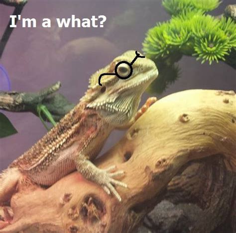 Bearded Dragon Meme - funny bearded dragon memes www imgkid com the image