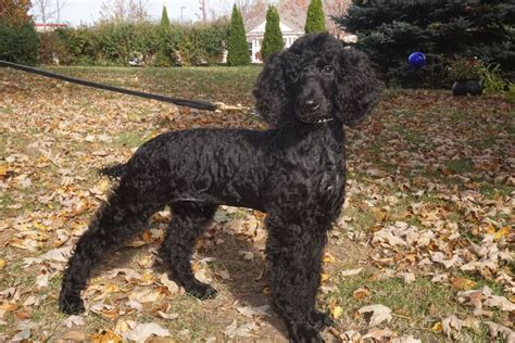 puppies for sale los angeles standard poodle puppies for sale los angeles photo