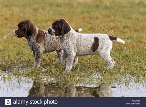shorthaired pointer puppies two german shorthaired pointer puppies at the shore stock photo royalty free image 9484210 alamy