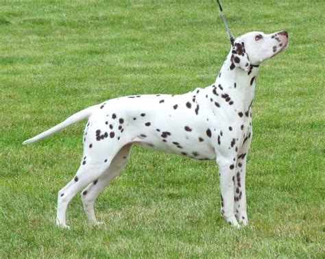 dalmatians puppies for sale dalmatian puppies for sale malmesbury wiltshire pets4homes