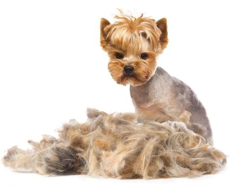 do yorkies hair or fur the gallery for gt dogs without fur