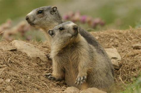 groundhog day italian il coniglio il ratto il topo lo scoiattolo l istrice