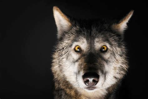 how to be an quot alpha male quot according to wolves reader s