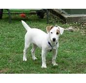 Le Jack Russell Terrier Ou Est Une Race De Chien