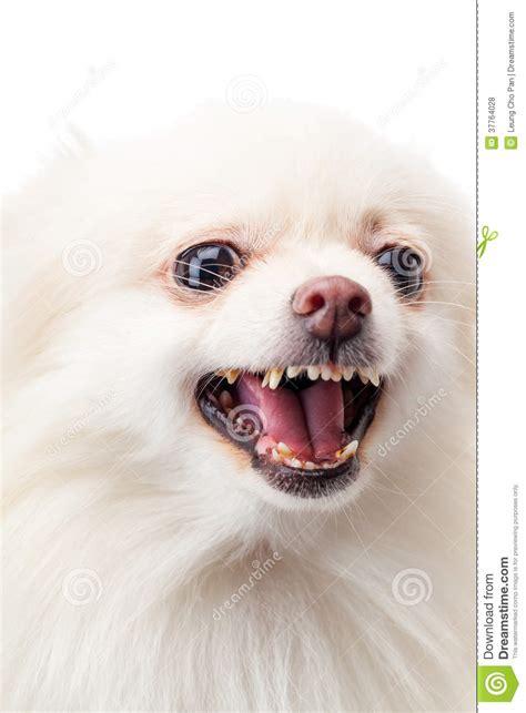 pomeranian barking white pomeranian barking stock photo image of mammal 37764028