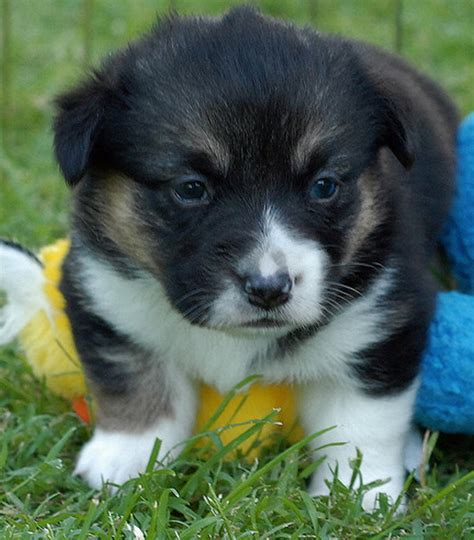 how much do corgi puppies cost black and white corgi pup png