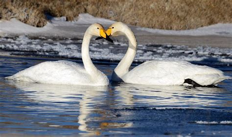 Naval Sw qinghai lake attracts swans to spend winter people s