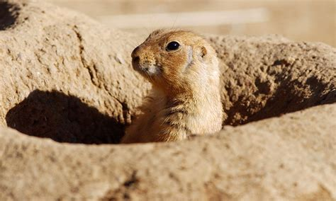 pictures of prairie dogs can i catch plague from a prairie howstuffworks