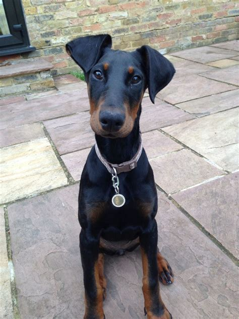 doberman puppy for sale stunning doberman puppy for sale camberley surrey pets4homes
