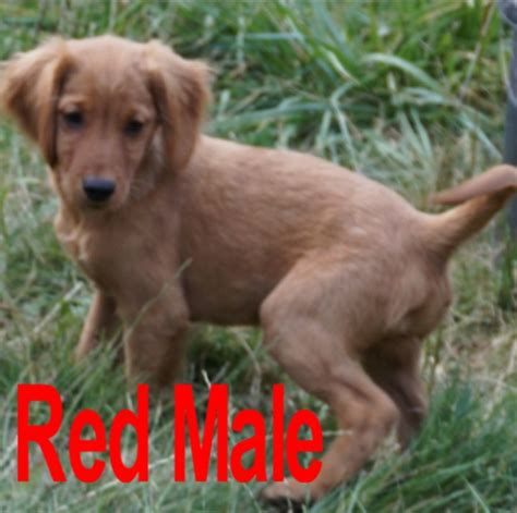 miniature golden retriever price miniature golden retriever puppies