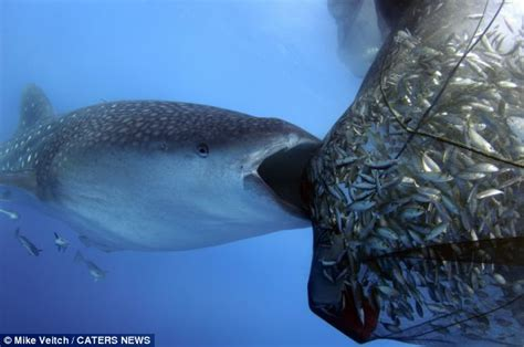 baby shark jakarta whale shark caught stealing fisherman s catch from fishing