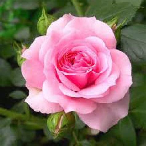 lipstik pink bunga the rosa centifolia flower extract cosmetics