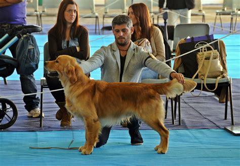 asoros golden retrievers golden retrievers dogs breeds picture