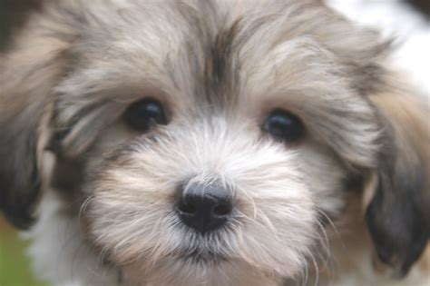Havanese Pictures Royal Flush Havanese