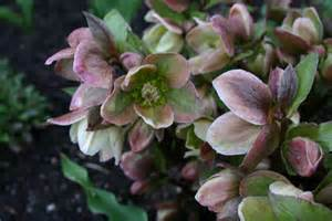 hellebores in full bloom wonderful early spring perennials sowing the seeds