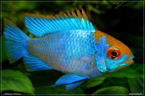 blue ram electric blue ram cichlid