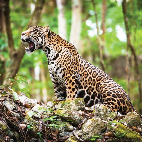 imagenes del jaguar mexicano jaguar mexicano una especie en peligro de extinci 243 n