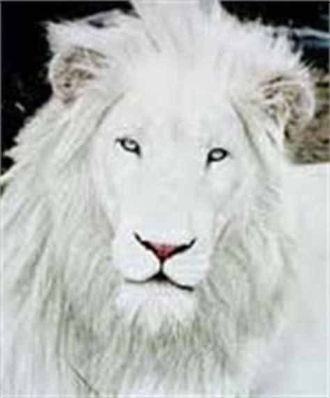 imagenes de leones albinos el leon blanco