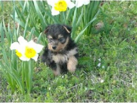 yorkies for sale in clarksville tn terrier puppies in tennessee
