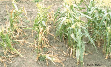 corn plant diseases sweet corn damage from stewart s disease
