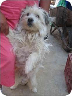 shih tzu rescue nm pelsua fluffy adopted albuquerque nm maltese shih tzu mix