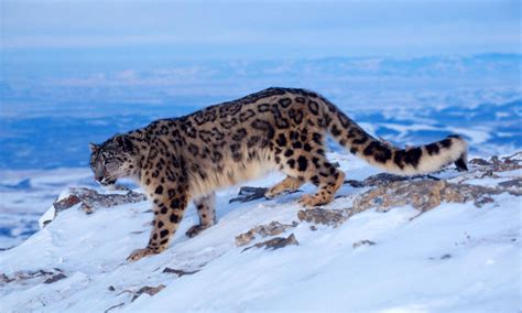 Jufm20 Bodysuit Movement Blue Animal protecting snow leopards in the of climate change stories wwf