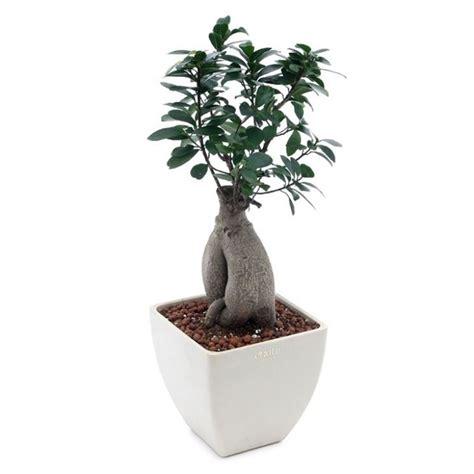 bonsai da appartamento cura bonsai ficus bonsai ficus cura bonsai ficus 1