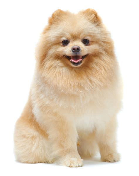pomeranian behavior problems page 27 of 39 pet paw