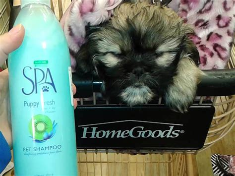 shih tzu conditioner shih tzu shoo 1001doggy