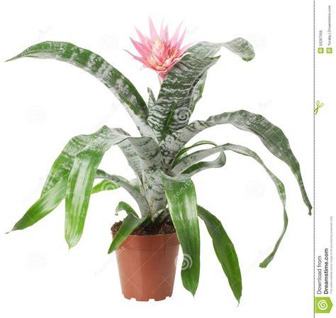 pianta da appartamento con fiori pianta da appartamento con fiori rosa divani colorati