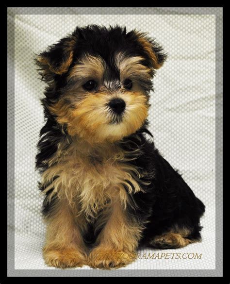 morkies wikipedia morkie haircuts hairstylegalleries com